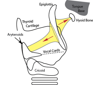 Picture of the larynx showing how the biomechanical focal point of the hyoid bone helps to balance the forces holding the airway open.