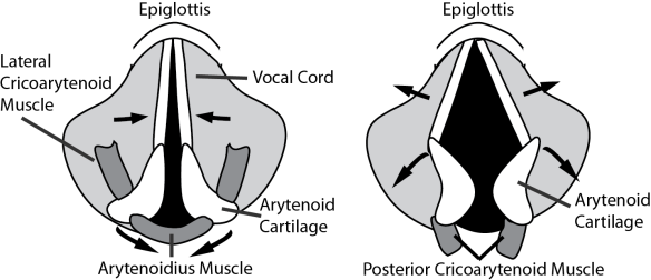 Illustration showing movements which open and close the vocal cords.