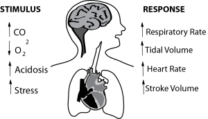 Illustration showing impact of the 4 major drives to respiration