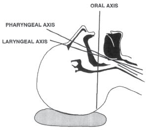 The 3 axes of the airway with the head in the sniffing position.