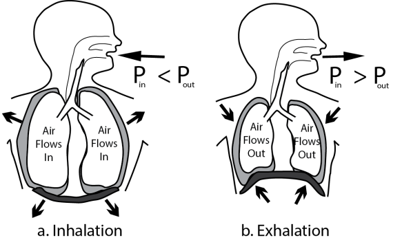 With spontaneous breathing, chest wall expansion and diaphragmatic contraction/relaxation change air pressure inside the thoracic cavity. If the airway is open the lungs will expand (a) and deflate (b).